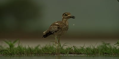 Water thick-knee - drinking
