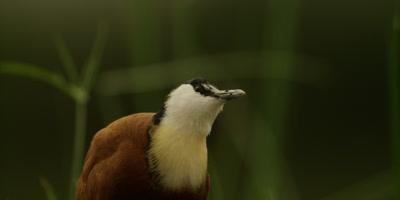 African Jacana - shakes head, close up