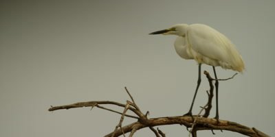 Great egret - perched on tree