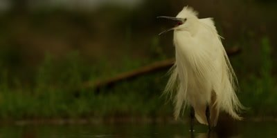 Little egret - standing and calling