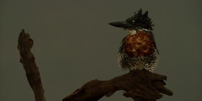 Giant kingfisher - perched on branch, backlit, close up