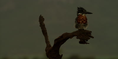 Giant kingfisher - perched on branch, backlit, wide shot