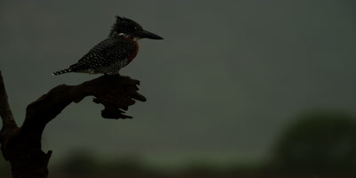Giant kingfisher - perched on branch, flies away