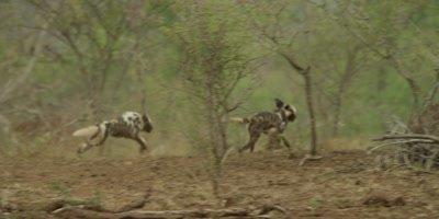 African Wild Dog - pair chasing warthog