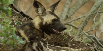African Wild Dog - lying under tree, close up