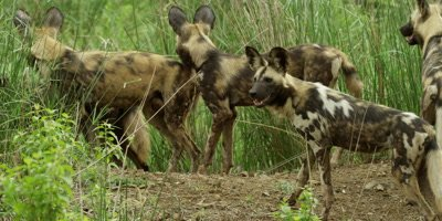 African Wild Dog - pack in riverbed