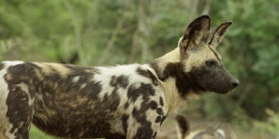 African Wild Dog - standing, looking around, close shot