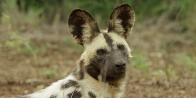 African Wild Dog - lying down, looks up then toward camera