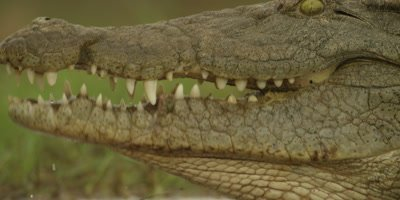 Nile crocodile - eating entrails, close shot