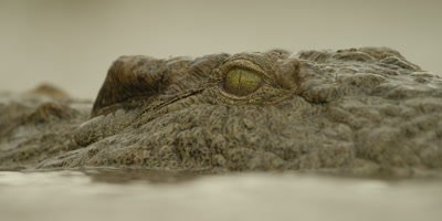 Nile crocodile - closes eye and submerges, close shot