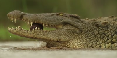 Nile crocodile - walking in water, eating entrails