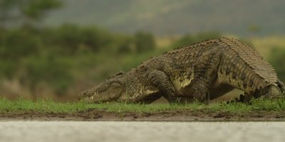 Nile crocodile - walking away from water