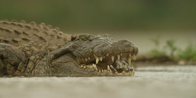 Nile crocodile - lying in water, opens jaws, close shot
