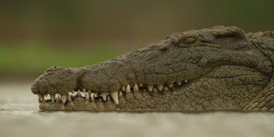 Nile crocodile - head, close shot, in water