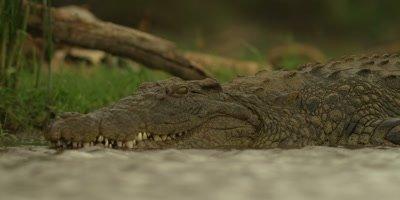 Nile crocodile - lying in water, medium shot