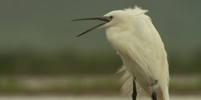 Little egret - standing and calling, close up