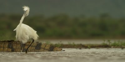 Little egret - watches crocodile then gets a fright