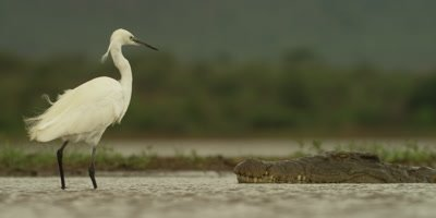 Little egret - backs away from crocodile