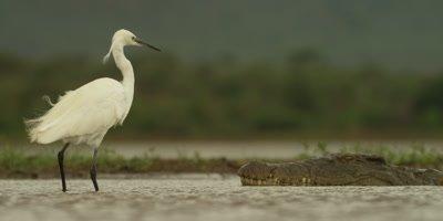 Little egret - backs away from crocodile