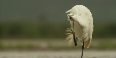 Little egret - scratching itself
