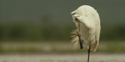 Little egret - scratching itself