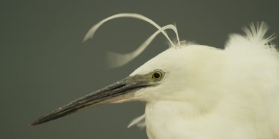 Little egret - head plumes blowing in wind, close up