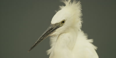 Little egret - preening and shaking head, close up