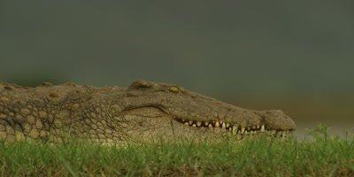 Nile crocodile - on land, looking around