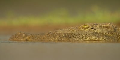 Nile crocodile - head low in water, close up, golden light