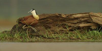 African Jacana - preening in front of log, foot raised, wide shot