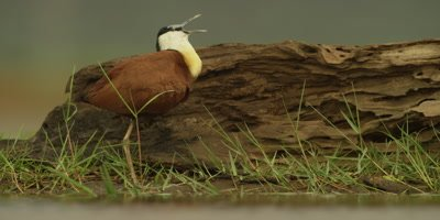 African Jacana - standing on one leg in front of log, tucks leg under wing, close shot