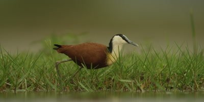 African Jacana - hunting for food in wetland