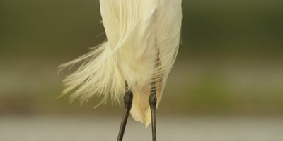 Little egret - tilt from legs to head
