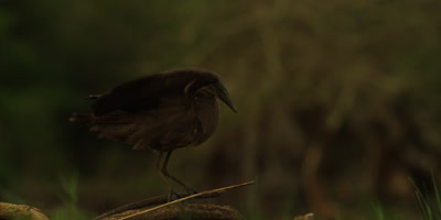 Hamerkop - perched, flapping wings