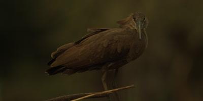 Hamerkop - perched, looking around