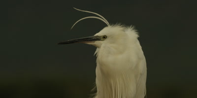 Little egret - plumes blowing, slow motion, 125fps, medium shot