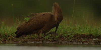 Hamerkop - wading and scratching beak