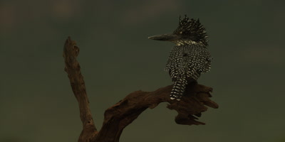 Giant kingfisher - perched on branch, looking around, from behind, close up