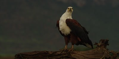 African fish eagle - standing on log, looking around 2