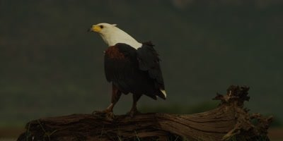 African fish eagle - standing on log, looking around 3