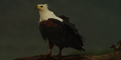 African fish eagle - standing on log, looking around 4