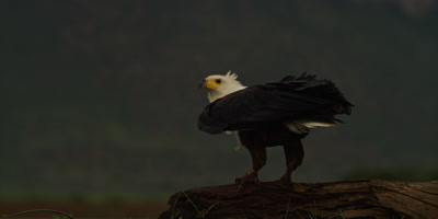 African fish eagle - standing on log then flies away