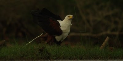 African fish eagle - standing in grass, defecates