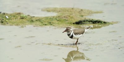 Three-banded plover - searching for food