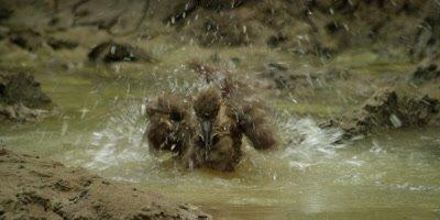 Hamerkop - bathing