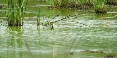 European Bee-eater - plunge bathing