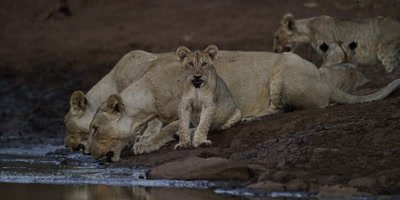 Lion pride at dusk - lionesses drinking, cub sitting, adult looks toward camera