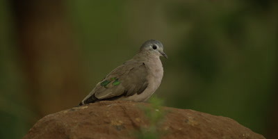 Emerald-spotted wood dove - perched on rock