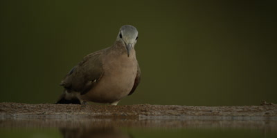 Emerald-spotted wood dove - drinking