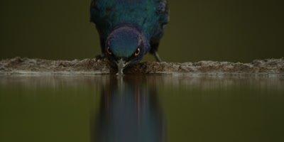 Glossy Starling - drinking, close shot